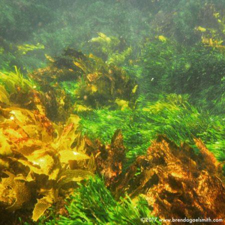Kelp at Copacabana, New South Wales