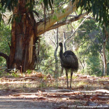Emu in the Grampians
