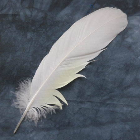 Sulphur Crested Cockatoo Feather