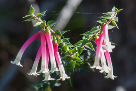 Native fuschia - apacris longiflora