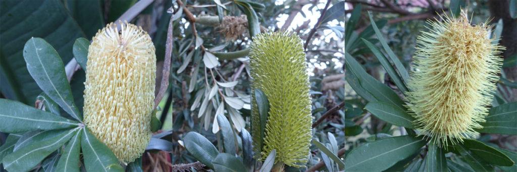 Coastal Banksias