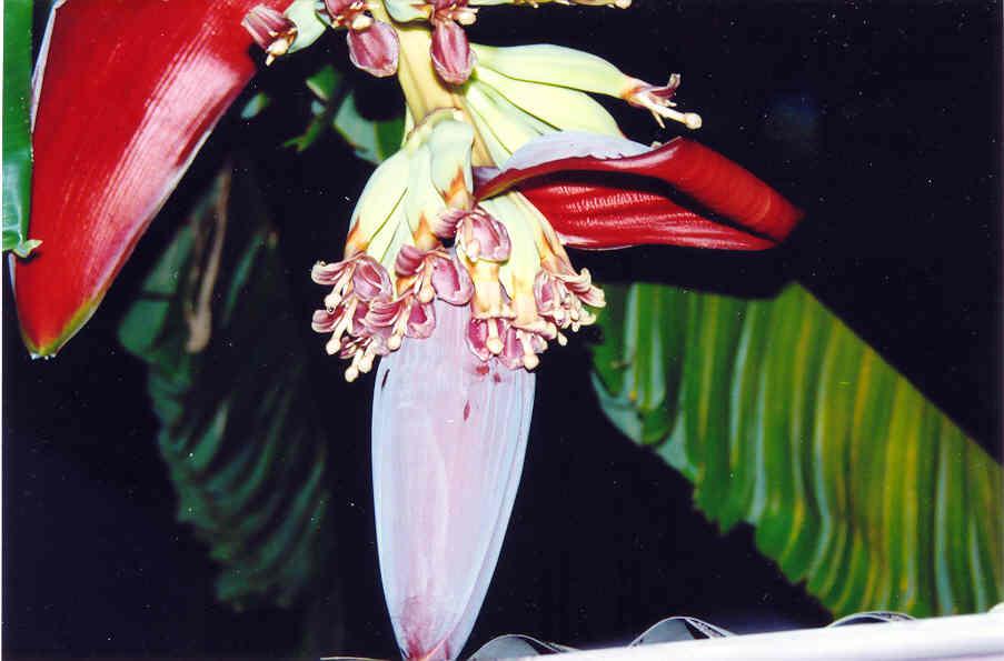 Banana Flower Pod